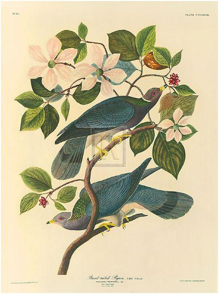 "<b>""Band Tailed Pigeon""</b>"